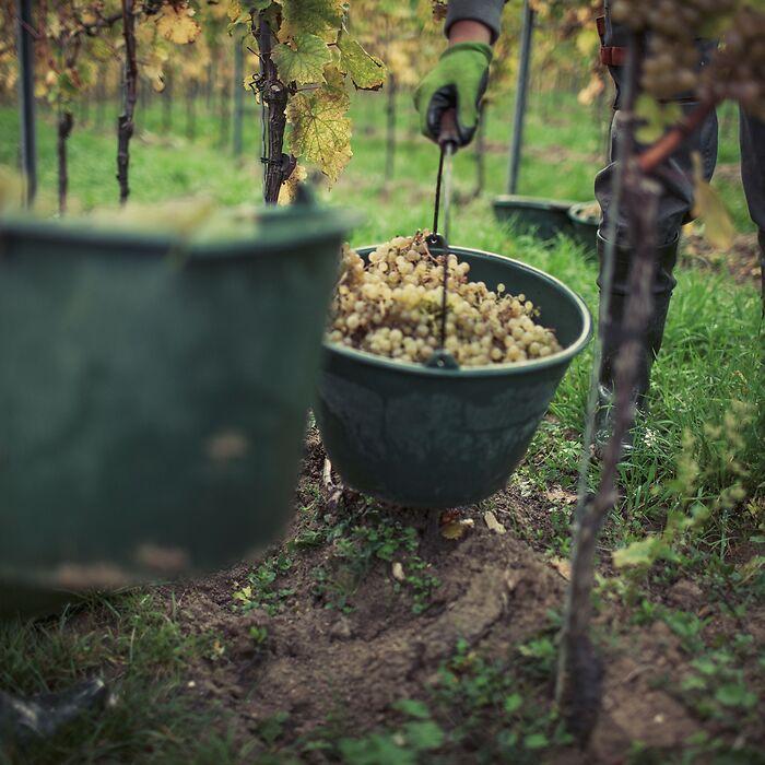 DREIGEBRÜDER Grauburgunder vom Weingut Winter