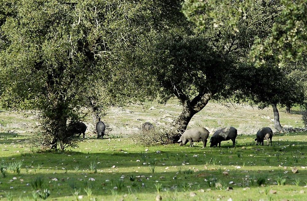 D.O.P. Dehesa de Extremadura ...